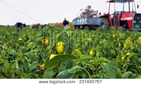 Farm Workers Harvesting Yellow Bell Pepper. Seasonal Harvest Of Vegetables In The Countryside.