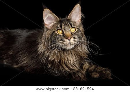Maine Coon Cat With Huge Polydactyl Paws Lying On Isolated Black Background, Side View