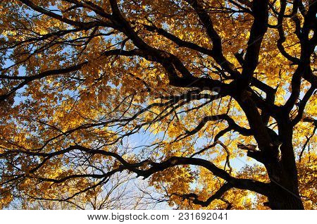 Crown Of An Oak Tree With Branches And Yellow Leaves On The Sky Background, A Picture From The Botto