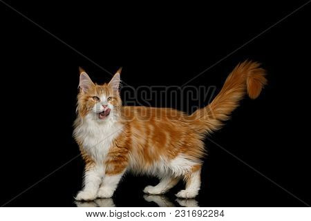Playful Ginger Maine Coon Cat, Walking With Up Tail And Lick, Isolated Black Background, Side View