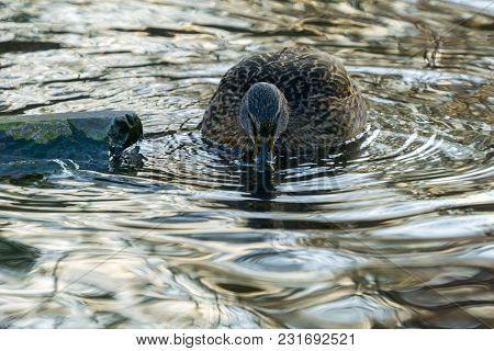 View To A Beautiful Swimming Mallard Duck (anas Platyrhynchos) In The Water. Close-up Of A Female Du