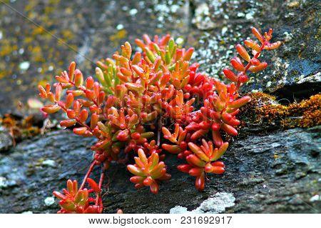 Succulent Plant In Stone Garden. Succulents On Stones.