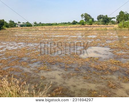 Disaster Flood In Rice Field At Thailand