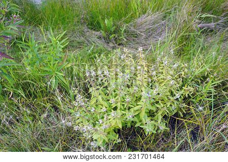 American Common Mint (mentha Canadensis) Blooms During August In Joliet, Illinois.