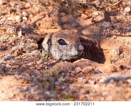 A Ground Squirrel Native To Arizona Peeking Out Of Its Den To Check For Predators.