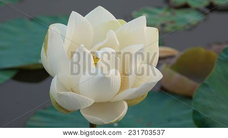 White Lotus Flower. Royalty High Quality Free Stock Image Of A White Lotus Flower. The Background Is