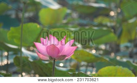 Pink lotus flower. Royalty high quality free stock image of a beautiful pink lotus flower. The backg