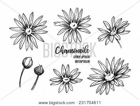 Hand Drawn Vector Illustrations. Herb Medicinal Chamomile. Clipart In Sketch Style. Perfect For Cosm