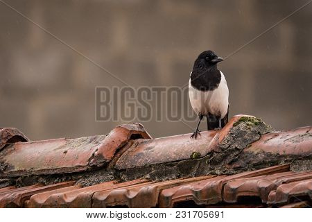 Magpies Are Birds Of The Corvidae (crow) Family. The Black And White Eurasian Magpie Is Widely Consi