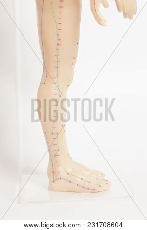Medical Acupuncture Model Of Human Legs On White Background