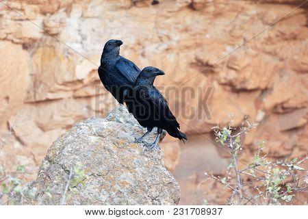 A Pair Of Fan-tailed Ravens (corvus Rhipidurus) On A Rock,
