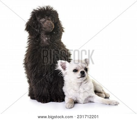 Puppy Brown Poodle And Chihuahua In Front Of White Background
