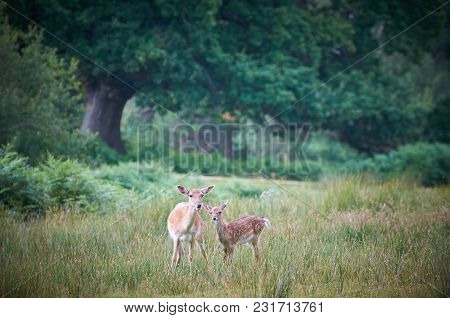 Fallow Doe Deer And Calf In The New Forest