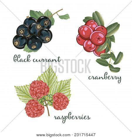 Set Of Berries. Black Currant, Cranberry And Raspberry. Vector Illustration
