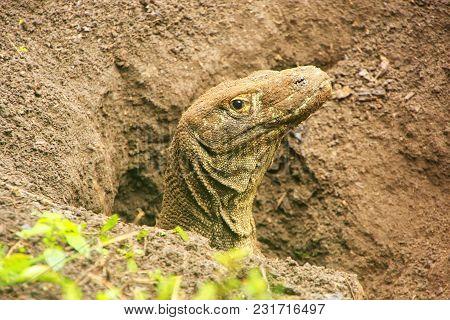 Portrait Of Komodo Dragon Digging A Hole On Rinca Island In Komodo National Park, Nusa Tenggara, Ind