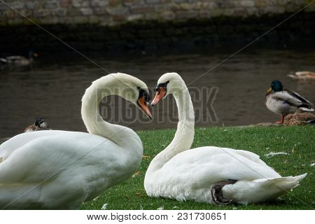 A Pair Of White Swans Close Up Form A Heart Shape.