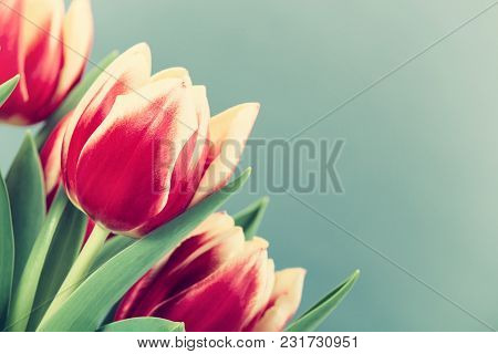 Closeup Of Two Color Tulips, In Red And Yellow, Blooming In Spring. Green Background With Copy Space