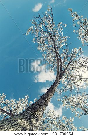 White Bradford Pear Tree Blossoms In The Texas Spring. Upward View With Blue, Sunny Sky And White Cl
