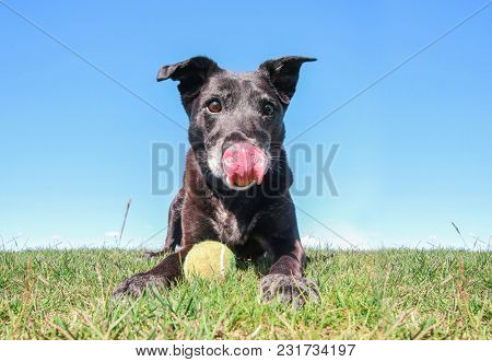 black lab retriever mix with her tongue hanging out sitting on a natural landscape background on a summer day with a tennis ball