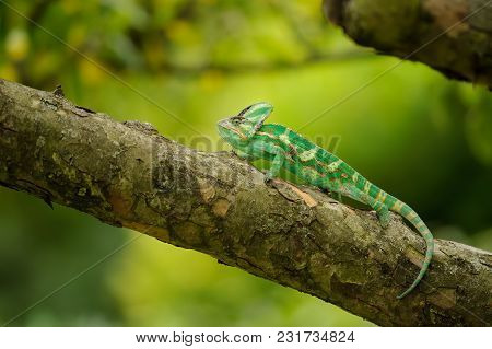 Beautiful Colorful Veiled Chameleon On Tree Branch With Nice Yellow Green Background