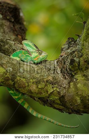 Chameleon In Discomfort Position On Tree  With Nice Blured Background With Yellow And Green.