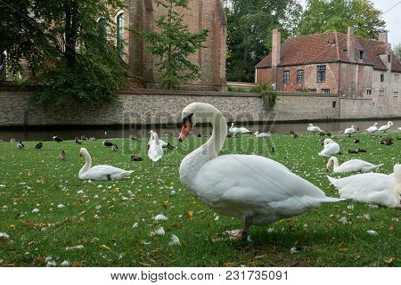 A White Swan On The Lawn Surrounded By Other Swans And Ducks Is A Favorite Tourist Destination In Th