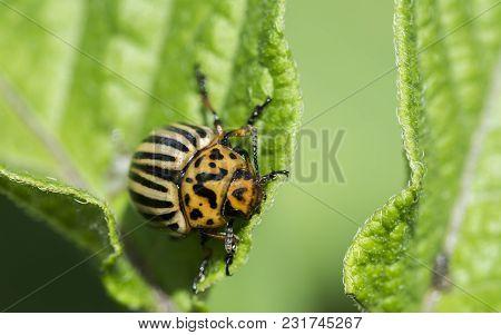 Colorado Potato Beetle Leptinotarsa Decemlineata Colorado Beetle Destroy Potato