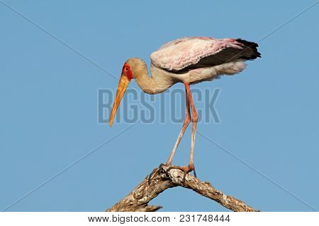 Yellow-billed stork (Mycteria ibis) perched on a branch, Kruger National Park, South Africa