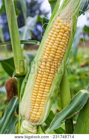 Cobs Young Sweet Corn Closeup