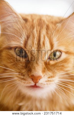 Close up Photo of Red Fluffy Tabby Male Cat with Green Eyes Looking Straight Towards Camera