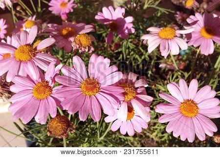 Spring Blossom Flowers Background. Maltese Flora. Malta Flora In Spring