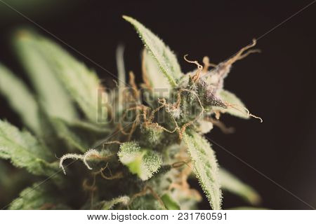 Macro Buds Of Marijuana Cbd Thc. Concepts Of Legalizing Medicinal Herbs Weed, Bud Cannabis, Macro Sh