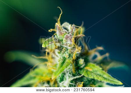Macro Shot Macro Buds Of Medicinal Marijuana Trichomes Cbd Thc. Concepts Of Legalizing Herbs Weed, B
