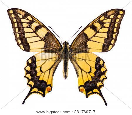 Common swallowtail butterfly (Papilio machaon) isolated on a white background