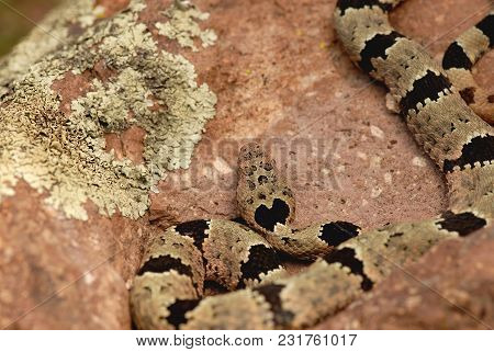 A Banded Rock Rattlesnake From The Peloncillo Mountains Of The Southwestern United States.