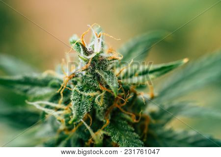 Sugar Trichomes Cbd Thc, Concepts Of Grow And Use Of Marijuana For Medicinal Purposes. Concepts Lega