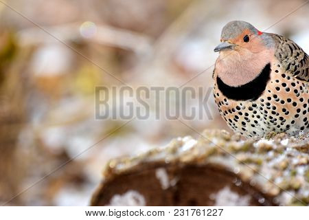 A Northern Flicker Perched On A Cut Log On A Cold Winter Day In Missouri.