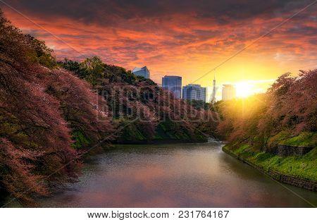 Sakura Cherry Blossom Tree At Kitanomaru Garden, Tokyo, Japan. Sunset Landscape. Tokyo Tower Japan S