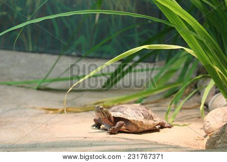 The Painted Turtle Is The Most Widespread Native Turtle Of North America. It Lives In Slow-moving Fr