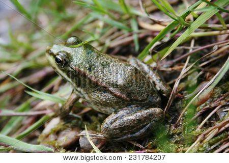 Frog Is Sitting On The Lawn. Close Up Shot Of Reptile Animal.