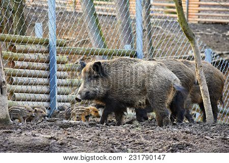 Wild Boar With Youngsters. Animal In The Forest.