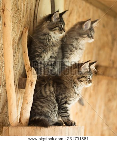 Cute Maine Coon Kittens On The Stump In The Open-air Cage