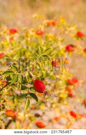 Closeup Of Ripe Rose Hip Berries Growing On Rose Hip Bush