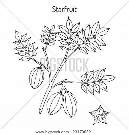 Starfruit Averrhoa Carambola , Medicinal Plant. Hand Drawn Botanical Vector Illustration