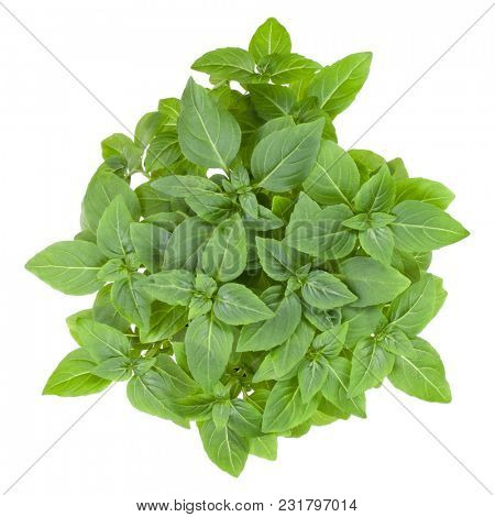 Fresh Greek basil herbs bouquet isolated on white background cutout. Top view.