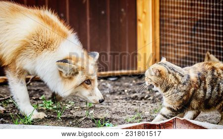Domestic Golden Fox In Conflict With Domestic Cat In Enclosure. Selective Focus.