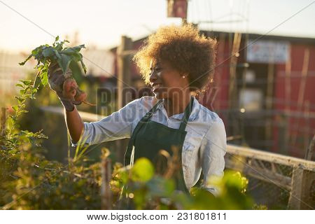 young african american woman inpsecting beets just pulled from the dirt in community urban garden