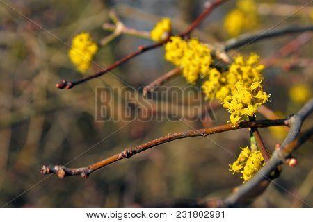 Cornus Mas Blooming Flowers In The Spring