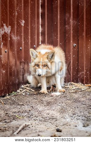 Domestic Golden Fox With Its Prey, Dead Mouse In Enclosure. Selective Focus.