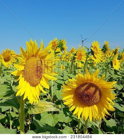 Sunflowers And Wind Turbines Under The Blue Sky